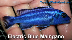 Electric Blue Maingano