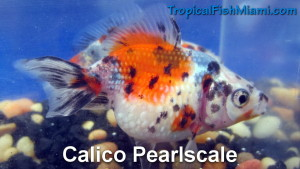 Calico Pearlscale