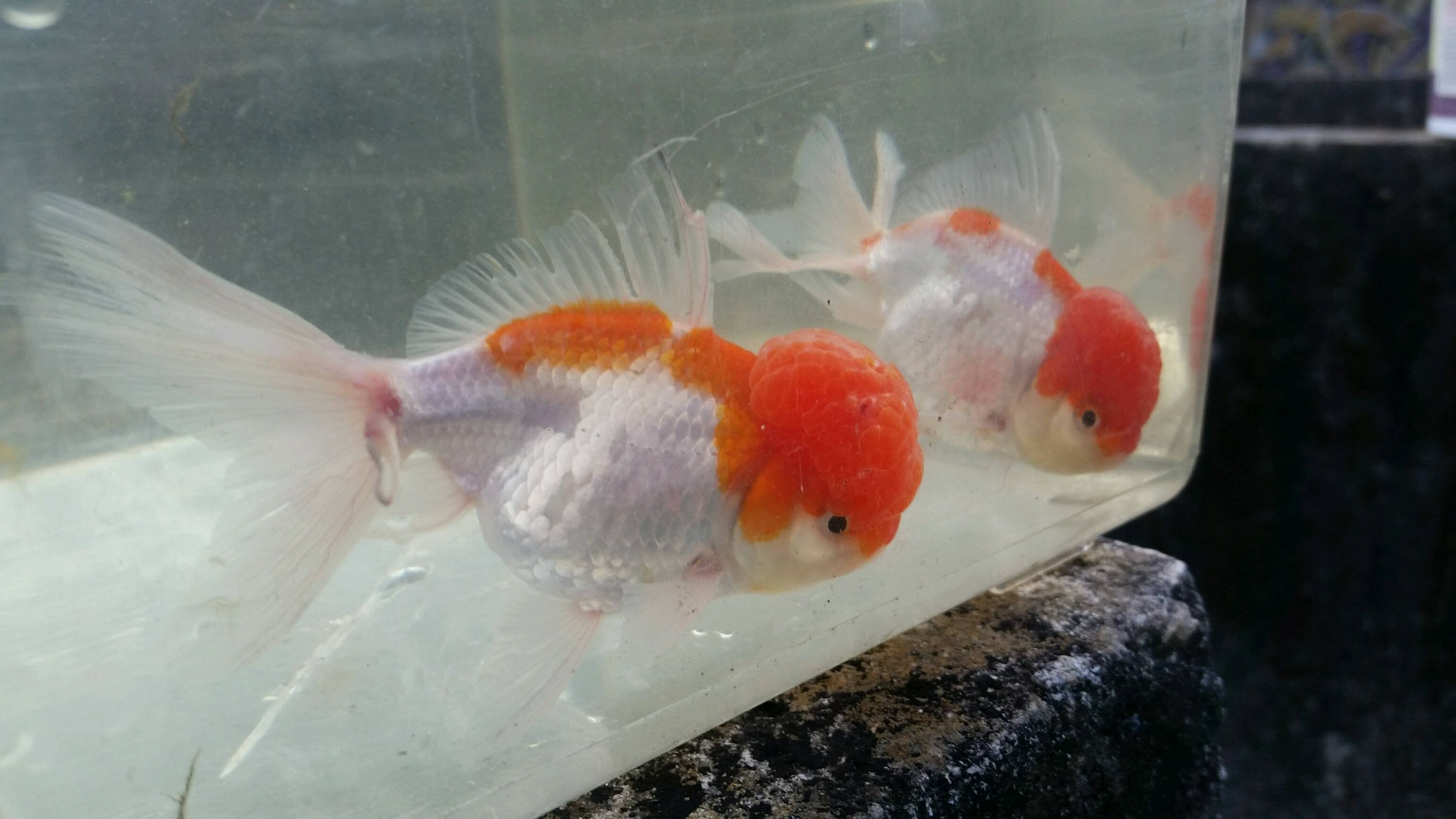 Red and white oranda goldfish for Pictures of white fish